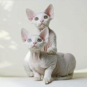Rex Cat Breeds