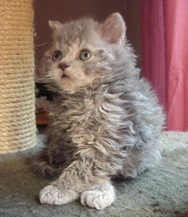 Selkirk Rex Cat Info History Personality Kittens Pictures