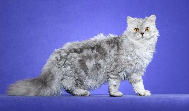Selkirk Rex Cat Info History Personality Kittens