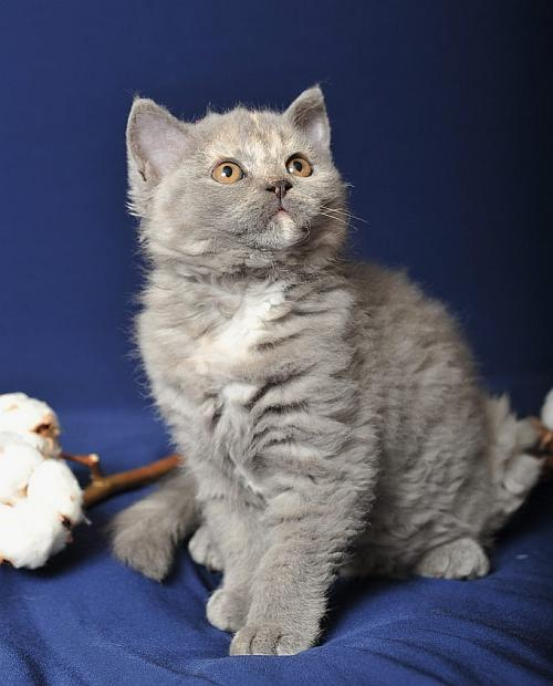 Selkirk Rex Cat Info History Personality Kittens