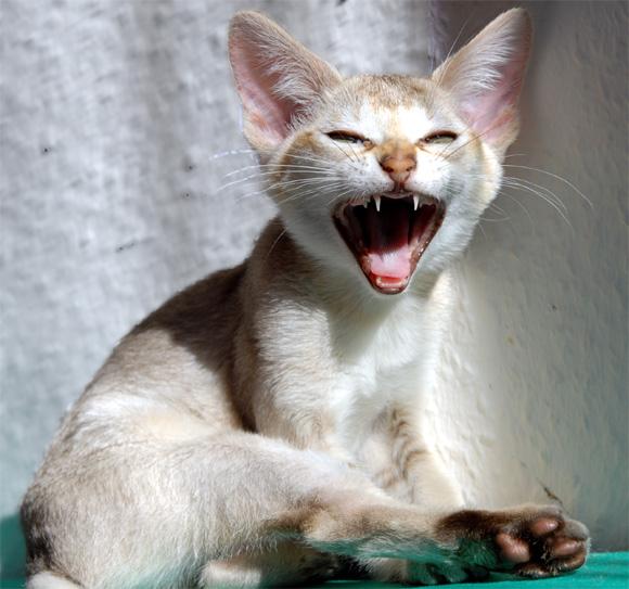ginger cat female