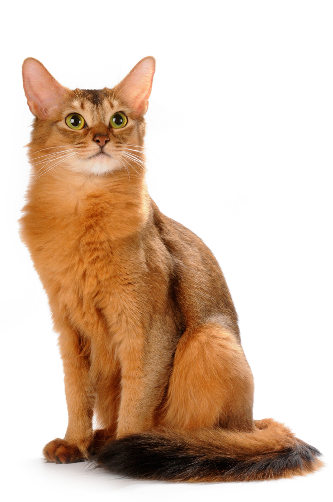 Somali Cat Blue Ruddy Red Breed Info Personality