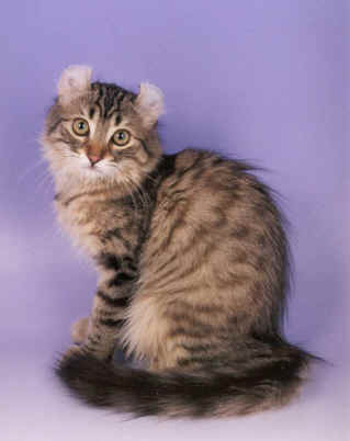 American Curl Cat Personality Traits