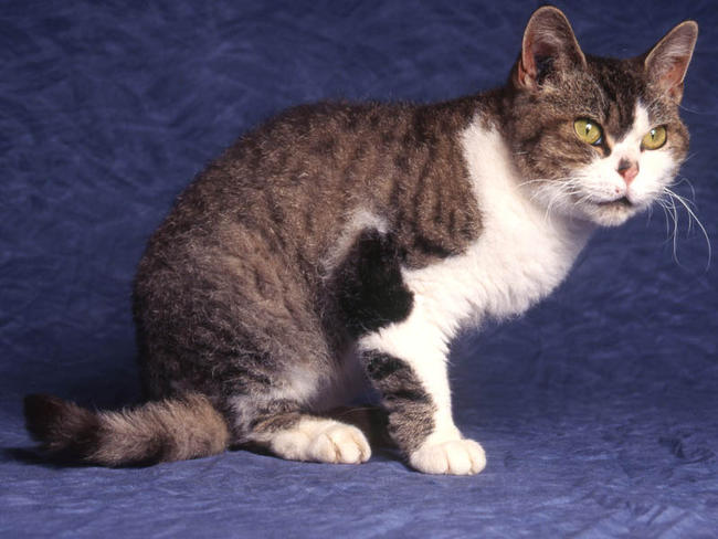 American Wirehair Cat Info, History, Personality, Kittens, Pictures