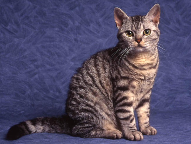 American Wirehair Cat Info History Personality Kittens