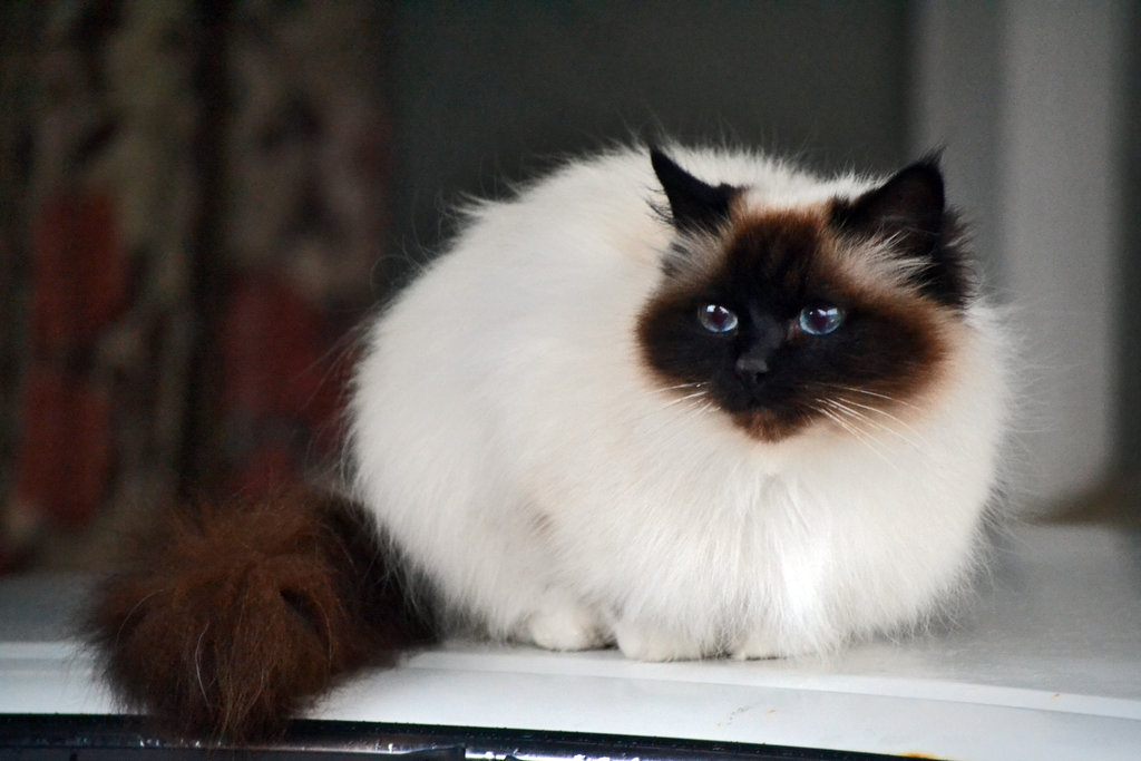 White Ginger Cat Breed With Black Cat
