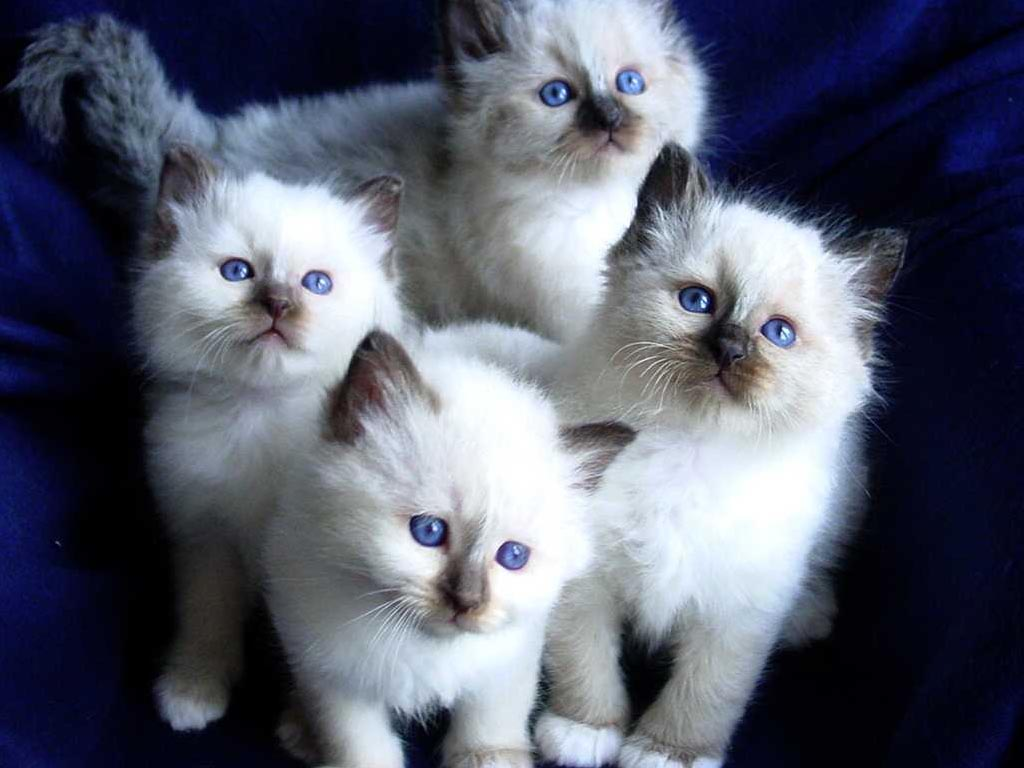Birman Cat Info History Personality Kittens Diet Picture