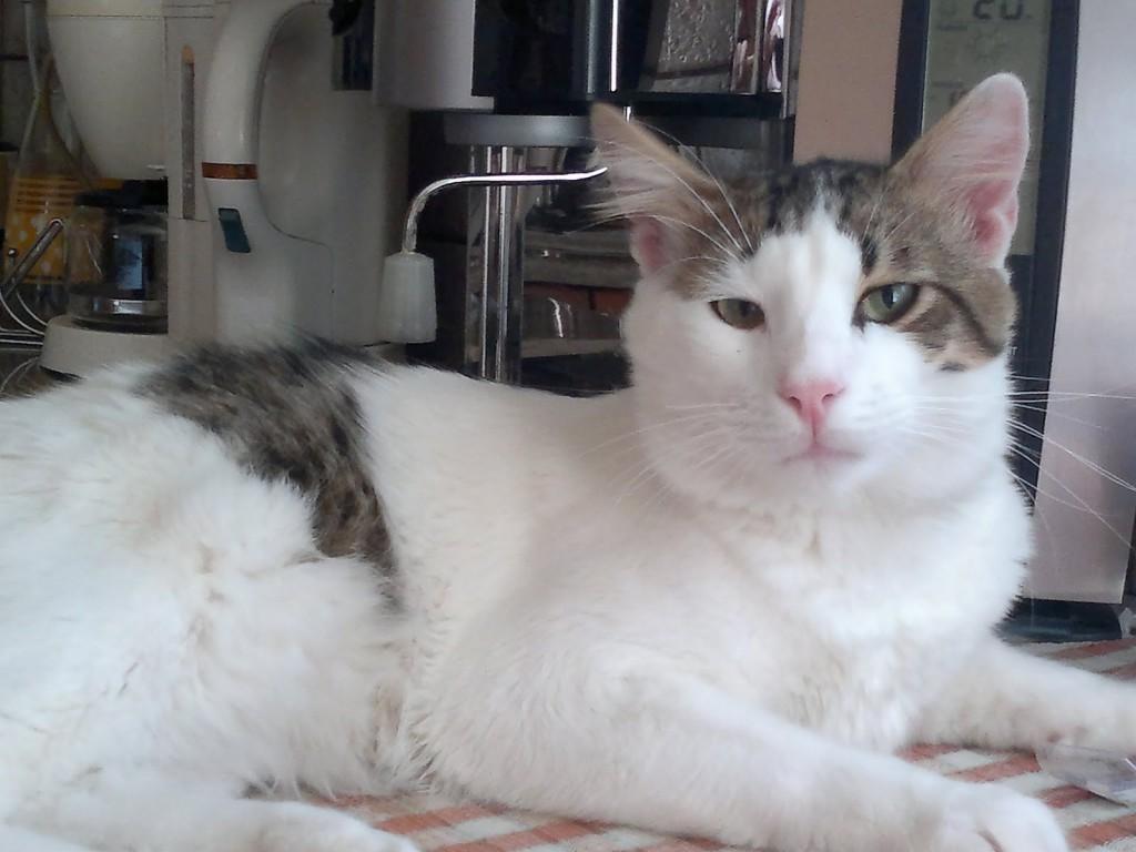 Aegean Cat Lifespan