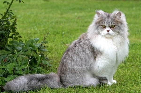 Grey Medium Haired Cat
