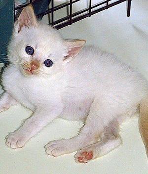kitten hisses