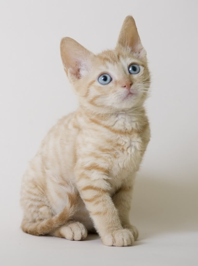 Hedendaags German Rex Cat Info, Temperament, Care, Pictures | Cat Breed Selector ST-69