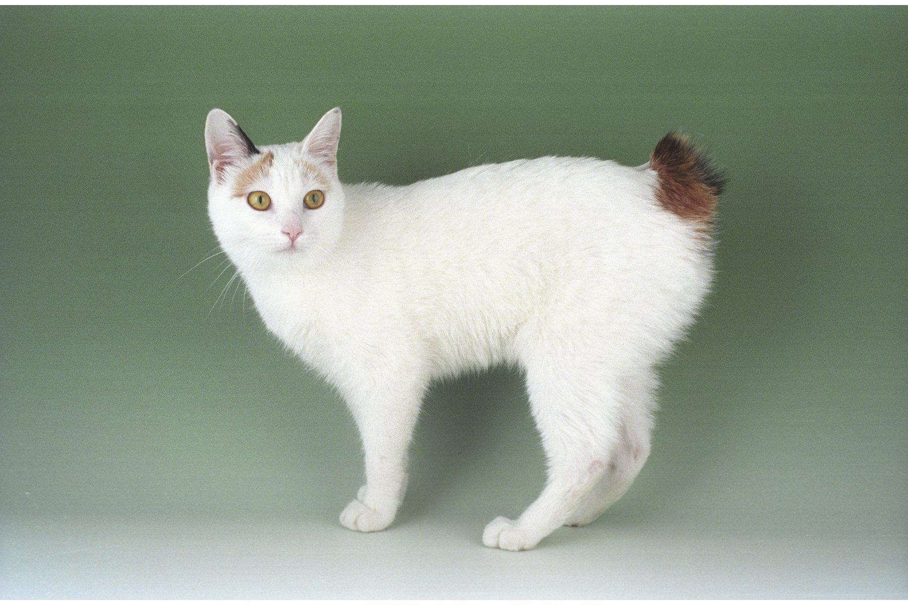 Japanese Bobcat Info History Personality Kittens Diet