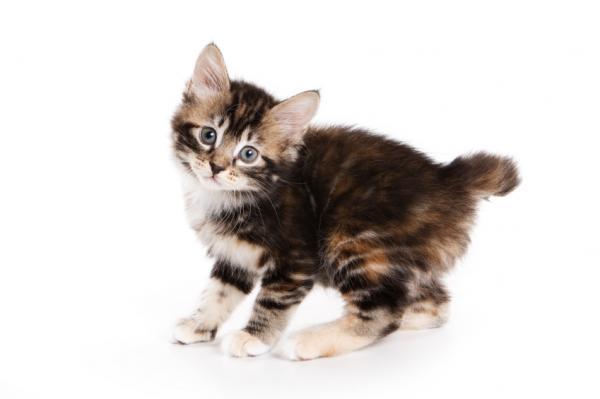 Cat Litter Size American Bobtail