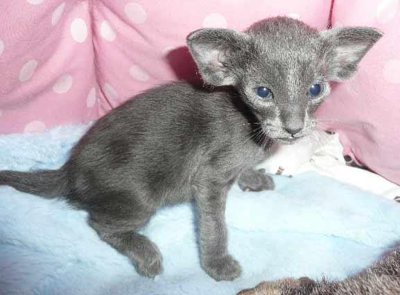 Oriental Shorthair Info, History, Personality, Kittens ... Oriental Cat Lifespan