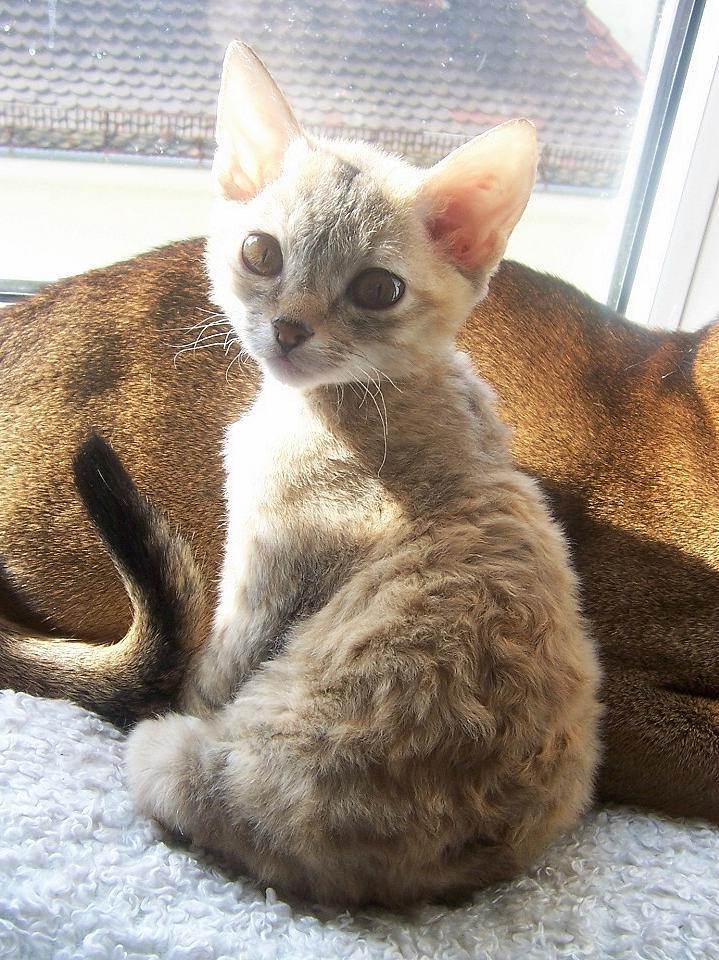 German Rex Cat Info Temperament Care Pictures Cat