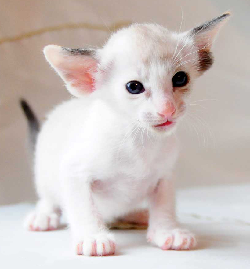 Cat Personality And Coat Color White