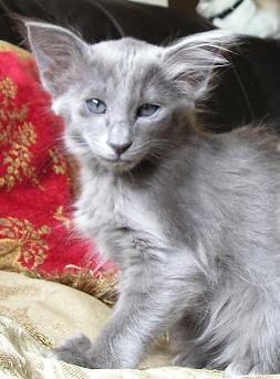 Oriental Longhair Cat Info Temperament Care Training