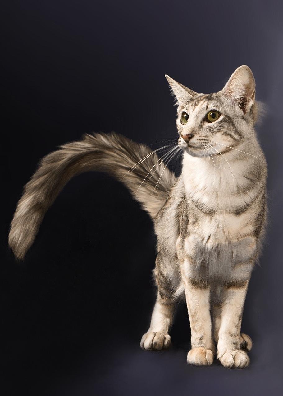 Oriental Longhair Cat Info Temperament Care Training