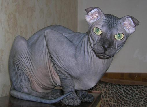 Medium Hair Russian Blue Cat