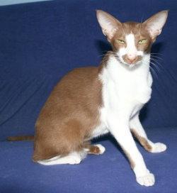 Oriental Bicolor Cat Info Temperament Care Training