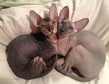 Peterbald Info Personality Care Training Kittens Pictures