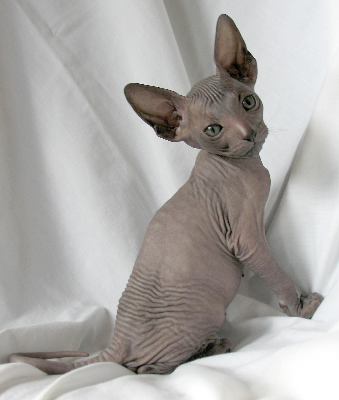 Peterbald Info, Personality, Care, Training, Kittens ... Oriental Cat Lifespan