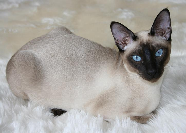 Siamese Cat Care Videos