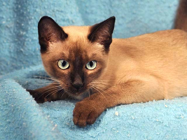 Siamese Cat Natural Breed