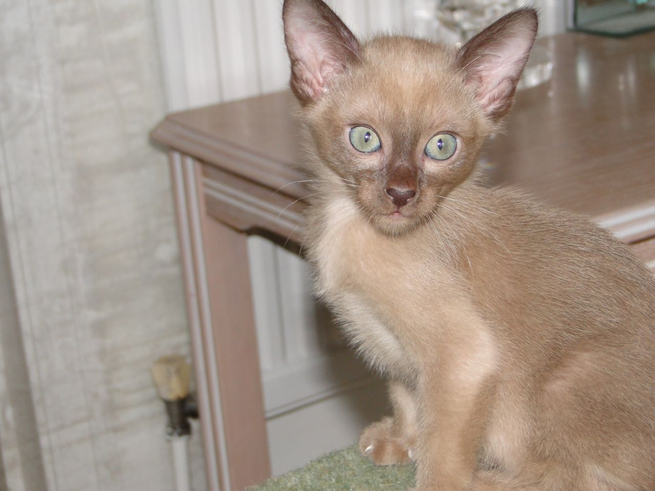Tonkinese Cat Info Personality Care Training Kittens Pictures Cat Breed Selector