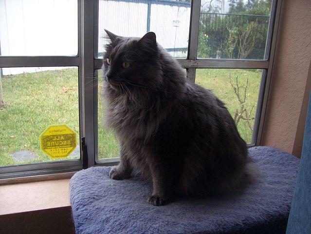 Cymric Cat Info History Personality Kittens Diet