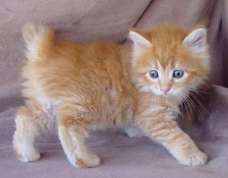 Cymric Cat Info, Histo...