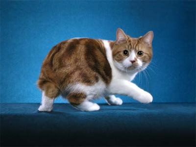 Cymric Cat Info History Personality Kittens Diet