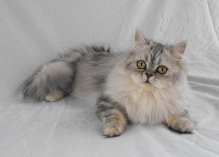 Napoleon Minuet Cat Cat Breed Selector