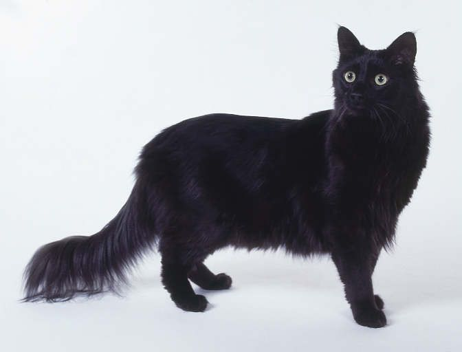 Black And White Angora Cat