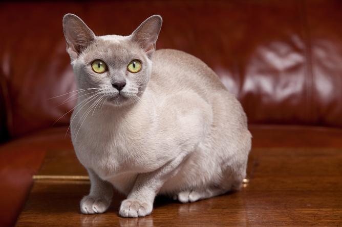 Blue And White Burmese Cat