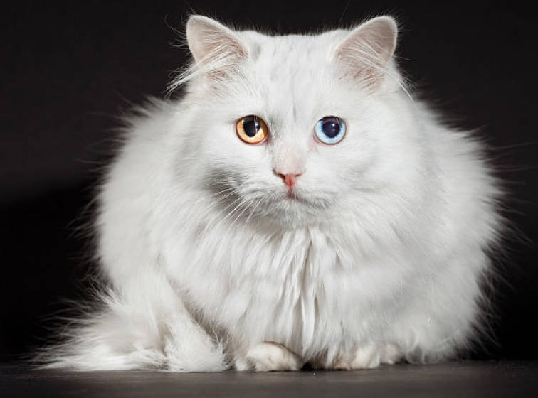 Turkish Angora Cat Breed Selector