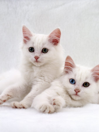 Turkish Angora Cat Breed Selector