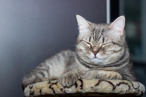 Asian Cat Breed Standard