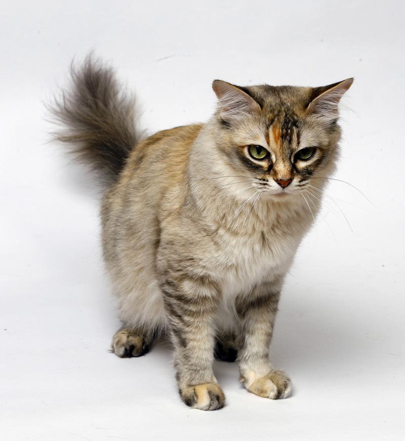 Asian cat breeds