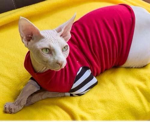 Bambino Cat | Cat Breed Selector