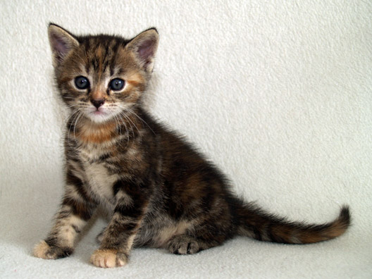 European Shorthair Info Personality Kittens Pictures
