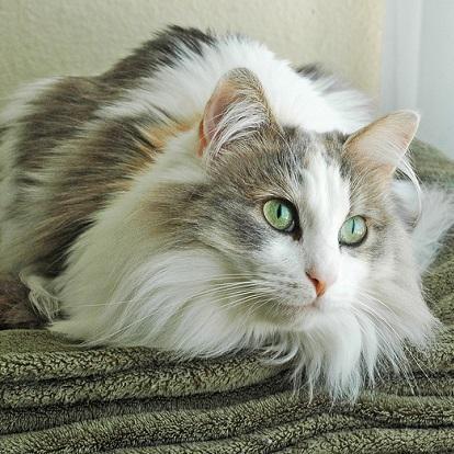 Ragamuffin Cat | Cat B...