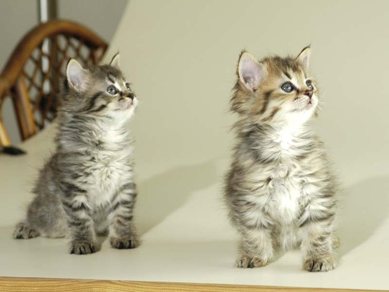 Short Nose Breed Of Cat