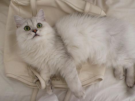 Soft Cat Food >> Asian Semi-Longhair Cat   Cat Breed Selector