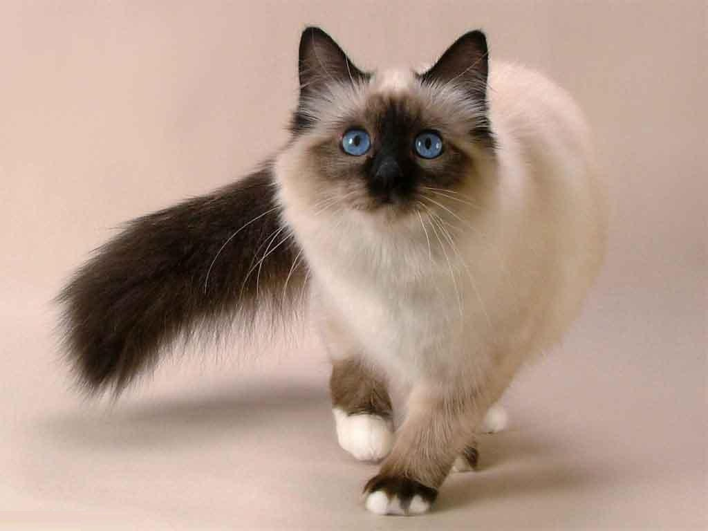 Balinese Cat Info Personality Kittens Pictures