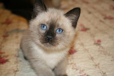 Balinese Cat Cat Breed Selector