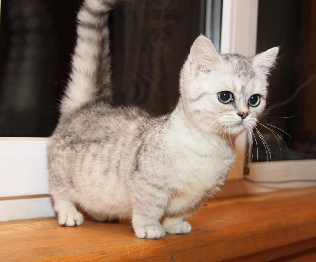 Scottish Fold Cat Info Personality Kittens Pictures