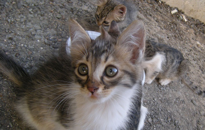 Cyprus Cat Cat Breed Selector