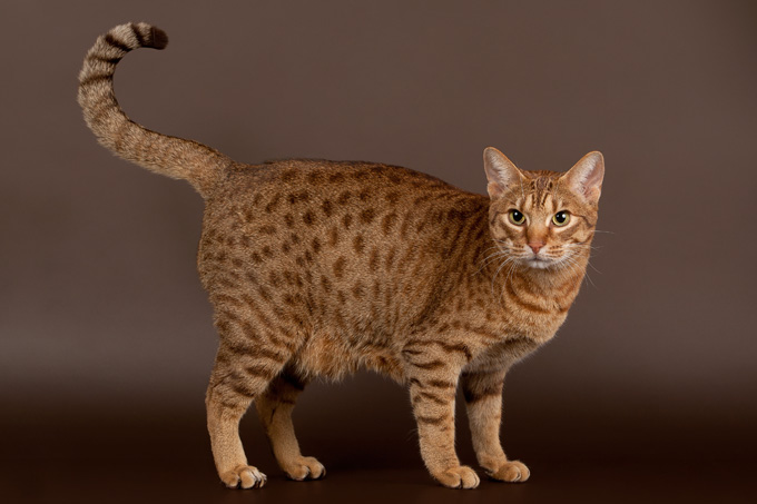 Indian Domestic Cat Breeds