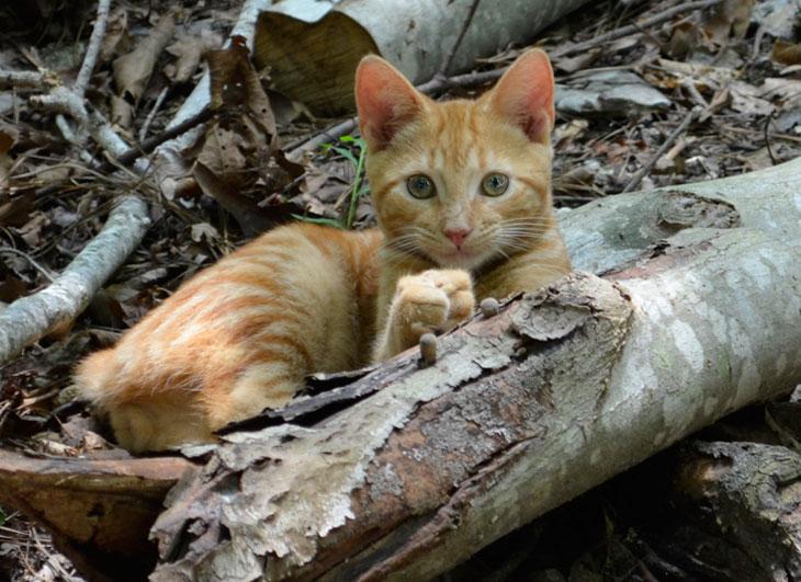 Brazilian Shorthair Cat Cat Breed Selector
